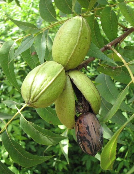 как растет орех пекан